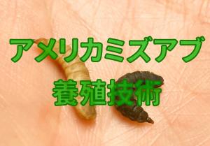 アメリカミズアブ養殖技術