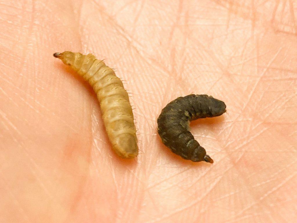 幼虫と前蛹